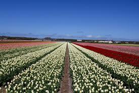 dutch springtime a festival of flowers notesfromcamelidcountry