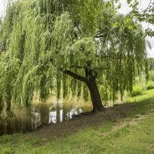 bonsai saule pleureur saule pleureur plantes et jardins