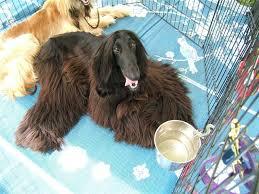 owning an afghan hound specials coat u2014the u0027drape coated u0027 disparateinterests u0027s blog