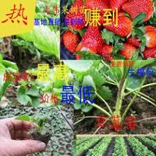 pomelo seedlings wholesale authentic three pomelo