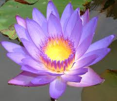 Blue Lotus Flower Meaning - 27 best lotus flower images on pinterest lotus flowers lotus