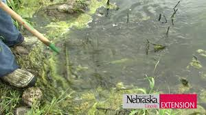 controlling algae and weeds in a pond youtube