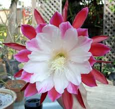 orchid cactus the top buy it now