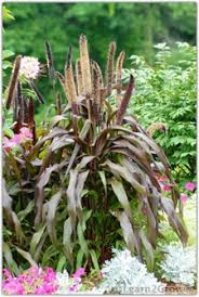 ornamental millet pennisetum glaucum ornamental grass for