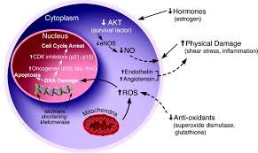 stem cells and the regeneration of the aging cardiovascular system