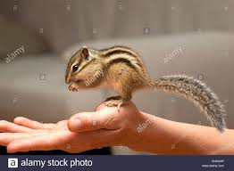 siberian chipmunk eutamias sibiricus tamias stock photos