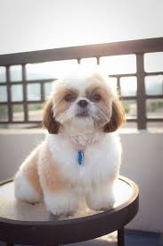 bichon frise and a shih tzu best 25 shih tzu puppy ideas on pinterest shih tzu shih tzu