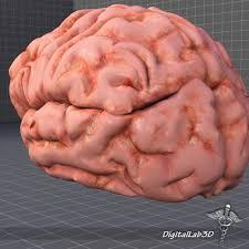 3d Head Anatomy 3d Human Brain Structure Cgtrader