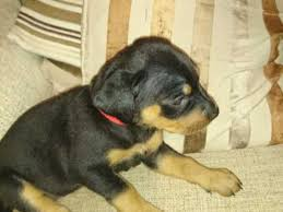 belgian shepherd x rottweiler rottweiler dogs and puppies for sale in the uk pets4homes