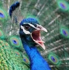 Peacock Meme - new meme idea pissed off peacock imgur