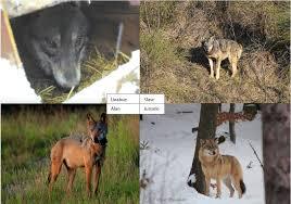 imagenes sorprendentes de lobos fapas en españa nos han ocultado el conocimiento científico del lobo