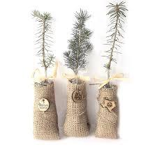 personalized evergreen tree seedlings tree seedlings evergreen