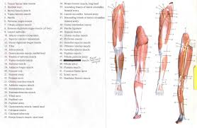 muscles of the leg labeled human anatomy coloring pages muscles