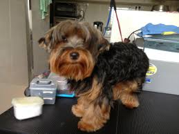 pictures of puppy haircuts for yorkie dogs yorkshire terrier puppy cut mobile dog stylists pet grooming