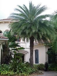 sylvester date palm tree sylvester date palm tree sylvestris large sylvester date