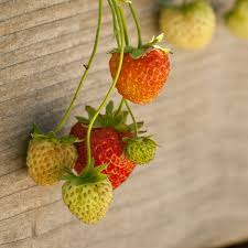 Strawberry Bed How To Renovate Renew U0026 Maintain A Strawberry Bed Organic