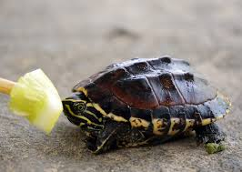 what do baby turtles eat lovetoknow