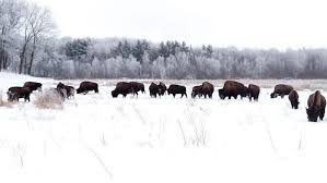 Seeking Ranch Bison Ranch Seeking Responsible Dependable Motivated And