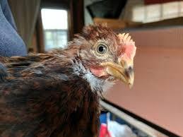 sexting my welsummer backyard chickens