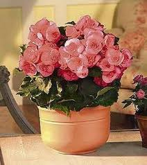 potted begonia plants flowers fast