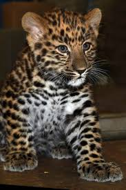 Brookfield Zoo Halloween by Amur Leopard Born At Brookfield Zoo Raises Awareness About