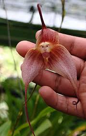 Monkey Orchid File 15 Dracula Simia The Monkey Face Orchid 10957423336 Jpg