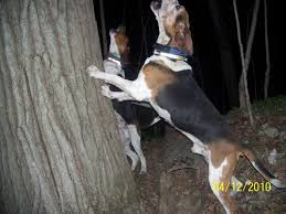 7 month old bluetick coonhound coondawgs com coonhound classifieds and message forum
