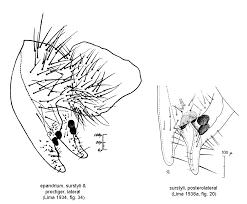 anastrepha pseudoparallela loew