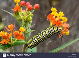 usa texas hill country close up of monarch butterfly