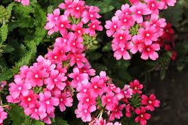 verbena flower annuals for beyond impatiens and petunias u