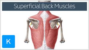 Anatomy Of Human Back Muscles Video Superficial Back Muscles Kenhub