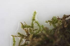 vascular plants of the gila wilderness vascular plants of the gila wilderness fabronia ciliaris