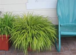 northwest gardening basic black and classic gold grass