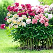 peonies for sale when to plant peonies bulbs perfume peony planting peony roots in