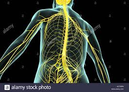 Human Anatomy Upper Body The Nerves Of The Upper Body Stock Photo Royalty Free Image