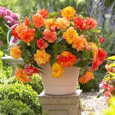 begonia flower types of begonias
