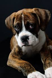Boxer Puppy Halloween Costumes 52 Boxer Love Images Boxer Love Animals