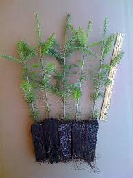 balsam fir tree transplants 5 pack shown tree farm