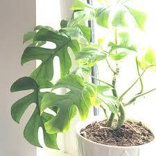 rhaphidophora tetrasperma plants pinterest plants large