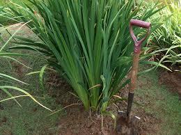 transplanting native plants world of irises growing japanese iris transplanting
