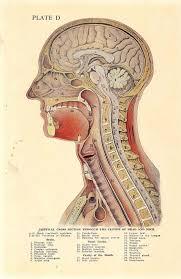 Human Anatomy Pic 411 Best Anatomy Images On Pinterest Anatomy Anatomy Art And