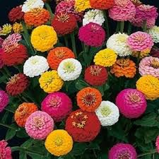 Zinnias Flowers 459 Best Flowers Zinnias Images On Pinterest Zinnias Zinnia