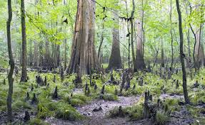 South Carolina forest images How we nearly lost the south 39 s largest old growth floodplain jpg