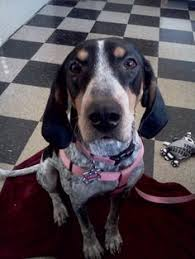 bluetick coonhound drool bonnie the 1 5yr old boxer pit bull bluetick coonhound mix with