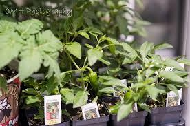 denver garden center heirloom organic tomatoes herb plants