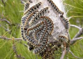 how to exterminate pine processionary caterpillars