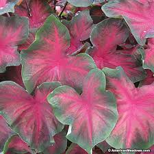 caladium bulbs royal flush american meadows