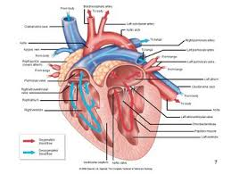 Dog Body Parts Anatomy Heart Structure Anatomy U0026 Physiology Wikivet English