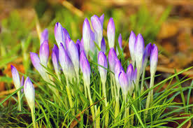 purple spring flowers free stock photo public domain pictures