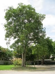 native plants fort myers alstonia scholaris tropical florida gardens